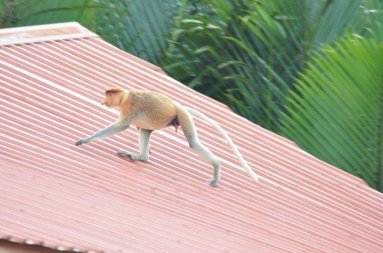 Weston Wetland Park: 프로보시스 원숭이