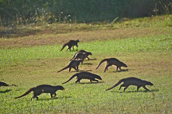 The Victoria Falls Hotel: Banded mongoose