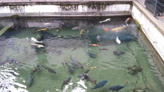 Matlock Bath Aquarium & Exhibitions: Coy Carp pool
