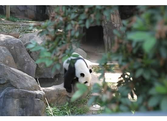 Zoo Atlanta: look, Panda!