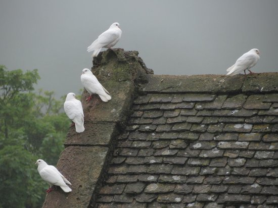 Snowshill Manor: doves