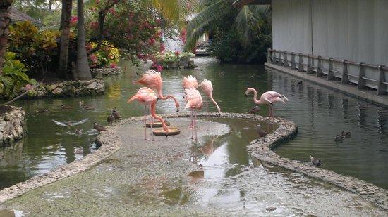 Iberostar Bavaro Suites : Розовые фламинго