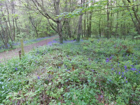Camborne, UK: Bluebells in May