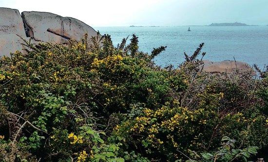 Grand Site Naturel de Ploumanac'h : AJONCS EN FLEURS