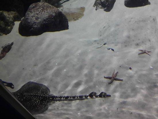 Aquarium Kiel: Скат
