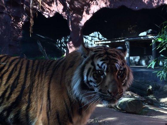 Taronga Zoo: One of the Sumatran tigers