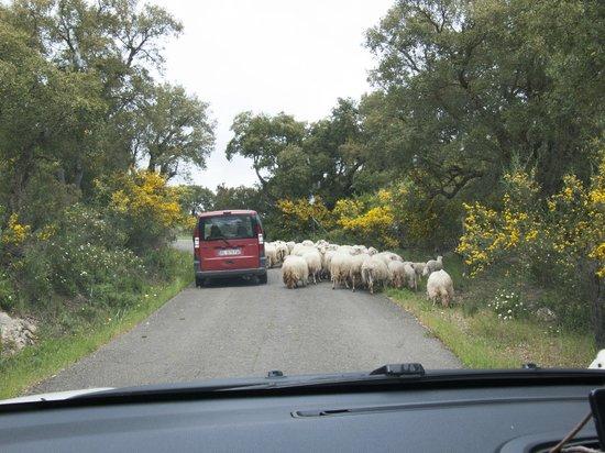 Agriturismo La Quercia: Schafe