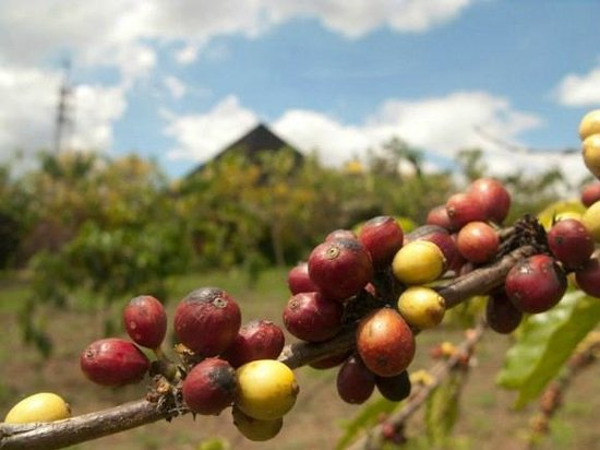 Monastery of the Transfiguration: coffee beans, the monastery is at the background