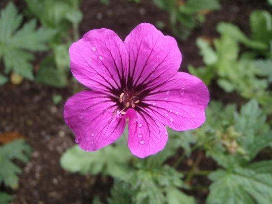Wordsworth House and Garden: A geranium in the garden