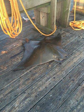 Flagler Beach Municipal Pier: 50lb + mana ray caught on the pier.