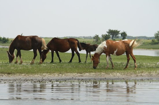 Chincoteague Cruises & Nature Tours: Wild pinto ponies of Assateague seen from Charlie's boat