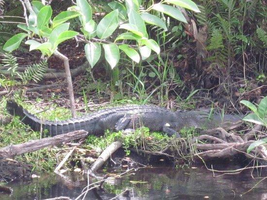 Airboat In Everglades : 11ft Alligator.....