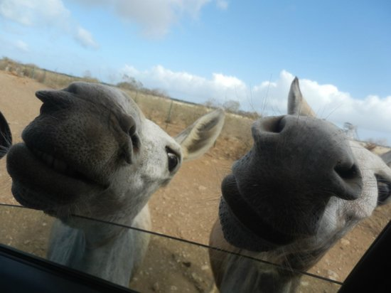 Donkey Sanctuary Bonaire: Donkeys greeting direct from our car