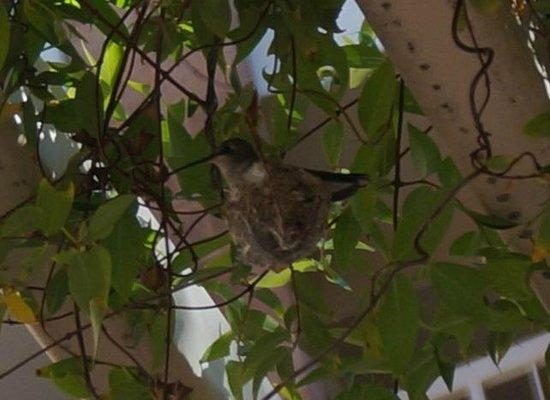 Radisson Suites Tucson: The hummingbird sharing breakfast