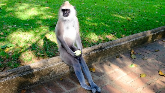 Cinnamon Lodge Habarana: Contemplative monkey