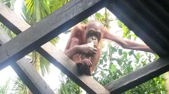 Sepilok Jungle Resort : morning visitor