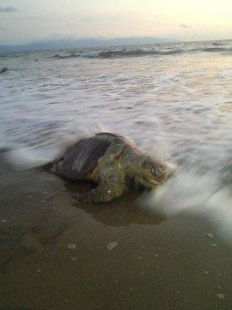 Hard Rock Hotel Vallarta : A sea turtle on the beach at sunset