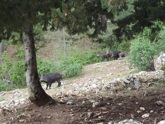 Parque Natural Sierra de Cazorla: Wild pigs near Parador