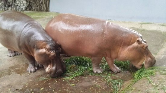 Dusit Zoo: Hippo's enclosure was way too small