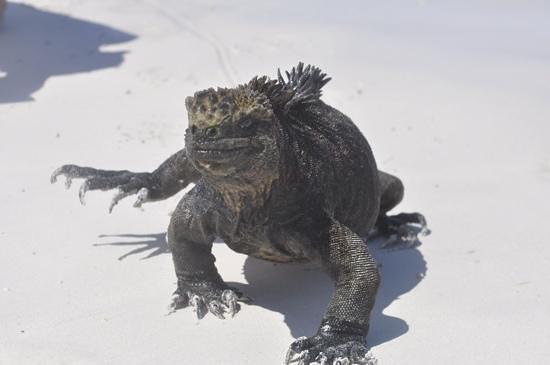 Galapagos Beach at Tortuga Bay: Meravigliosa Iguana