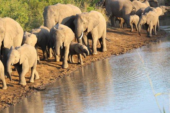 Thula Thula Exclusive Private Game Reserve and Safari Lodge: Thula Thula Elephants Herd