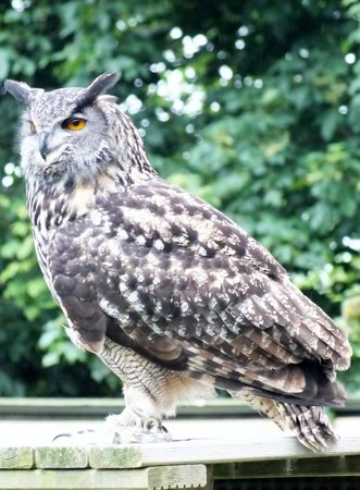Liberty's Owl Raptor and Reptile Centre: Owl from the flying display
