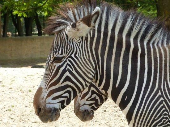 Touroparc Zoo : Zèbre