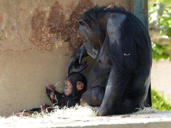 Touroparc Zoo : Chimpanzé