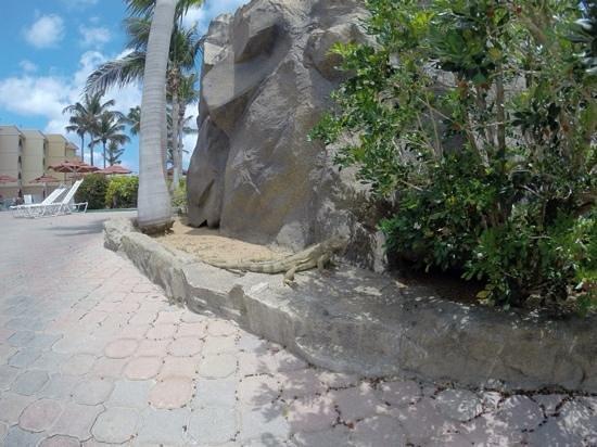 La Cabana Beach Resort & Casino: our iguana friends roam all over Aruba