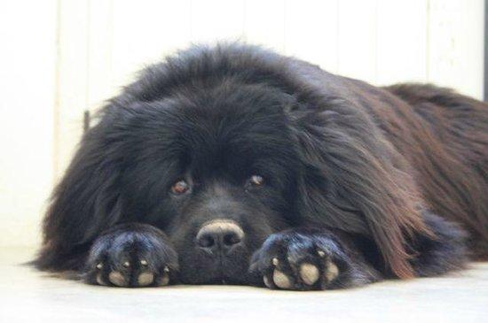"""Lagos Taghostel: """"Urso"""" our Staff Dog"""