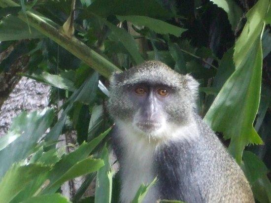 Baobab Beach Resort & Spa: One of the many monkeys that roam the grounds