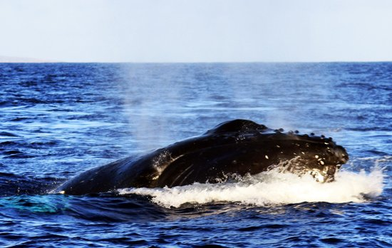Pacific Whale Foundation: Humpback 3