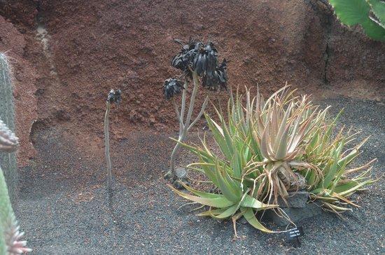 Coussins de belle m re picture of jardin de cactus - Jardin de cactus ...