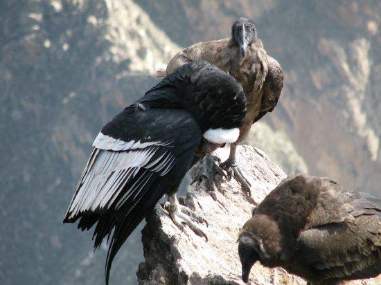 Condor's Cross: Condor
