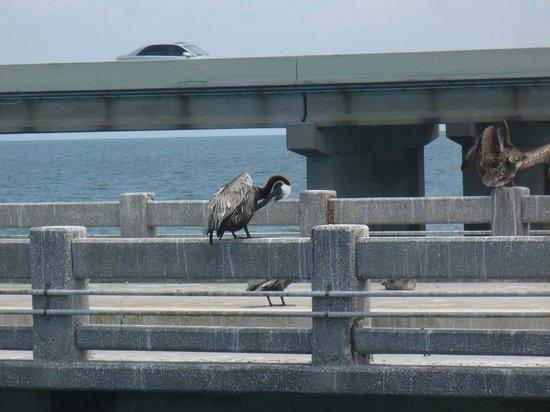 Sunshine Skyway Bridge: Brown Pelicans