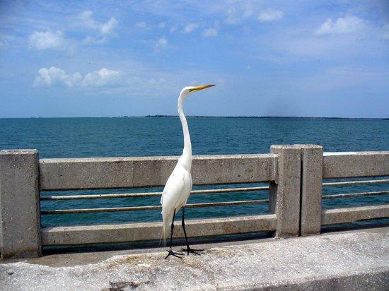 Sunshine Skyway Bridge: Great Egret