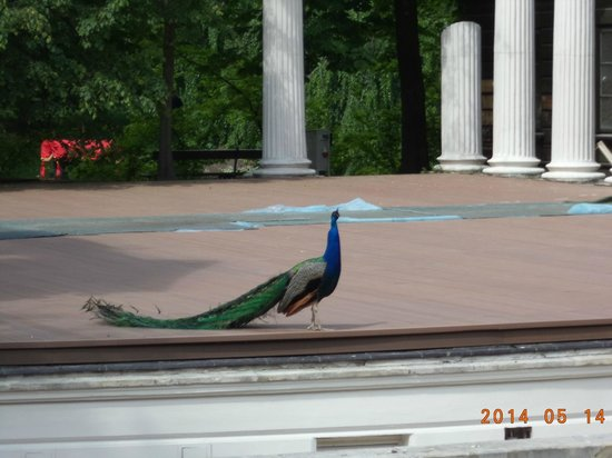 Parque Lazienki: Peacocks at the Amphitheater