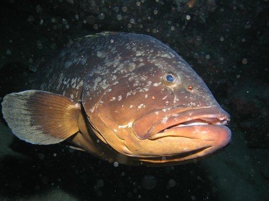 Atlantis Diving Lanzarote: Porqué nunca consigo recordar el nombre de este Mero??? Será porque tiene demasiados nombres????