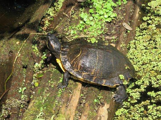 Lettuce Lake Regional Park: Turtle!