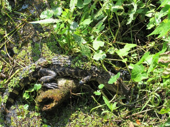 Lettuce Lake Regional Park: Lots of little gators throughout the park