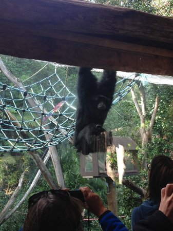 Auckland Zoo : Monkey excited