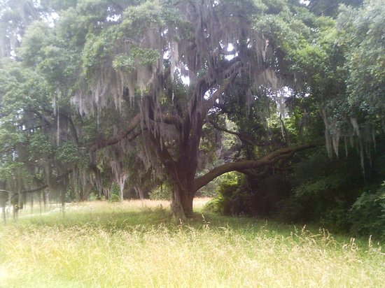 Charles Pinckney National Historic Site: One of many spanish-moss laden oaks at the Charles Pinckney Historic Site.