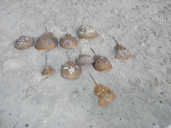 Folly Beach Public Beach: Horseshoe crab collection