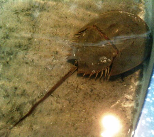 A horseshoe crab at the South Carolina Aquarium.  I got to pet him, and he seemed quite nice. :)