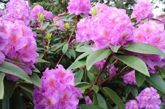 Columbia Cliff Villas Hotel: Rhododendrons in bloom