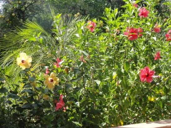 Royal Palms Resort and Spa: Hibiscus flowers next to my patio.