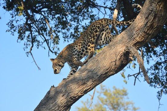 Lebala Camp - Kwando Safaris : This leopard was very nimble climbing up the tree