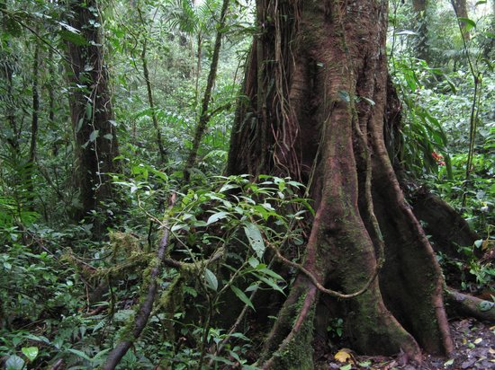Monteverde Cloud Forest Biological Reserve: Tree