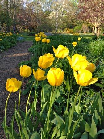 Barrie, Canada : Yellow tulips
