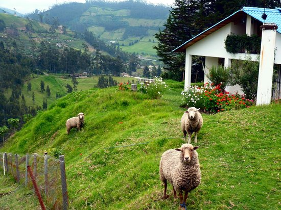 Hosteria Rose Cottage: Sheep with a View